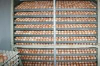 А вы задумывались о яйцах?
